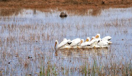 Flock of white pelicans swimming to find food in the marshlands of Florida