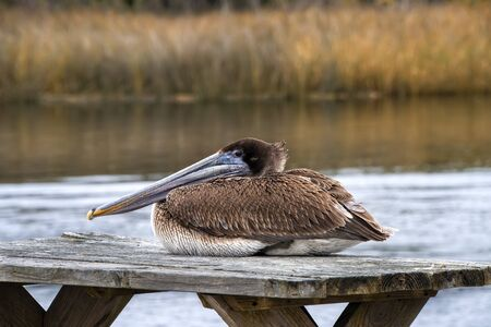 An Immature brown pelican resting on a table in the wild