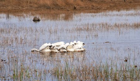 Close knit white pelican group searching for food in a marshy area in northern Florida