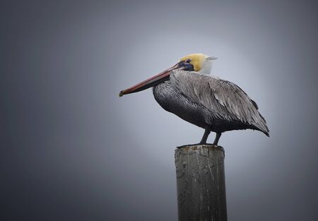Adult Brown Pelican resting on a pole with a soft background