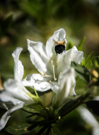 Bumble bee flying into a blooming white azalea flower Zdjęcie Seryjne