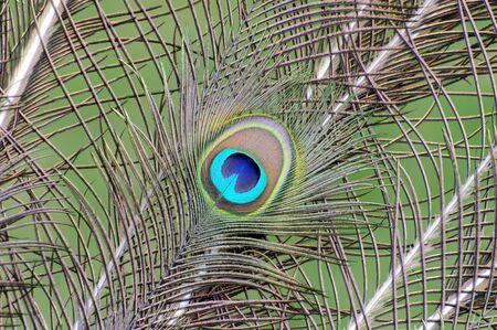 peacock wheel: Peacock feather Stock Photo