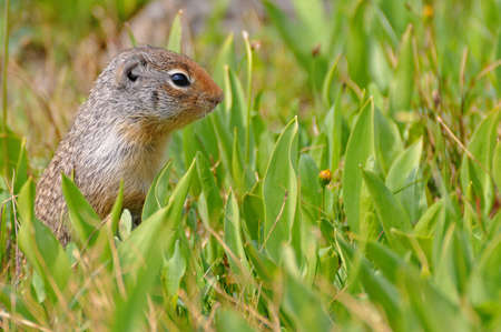 Ground Squirrel in the blooming meadow Stock Photo