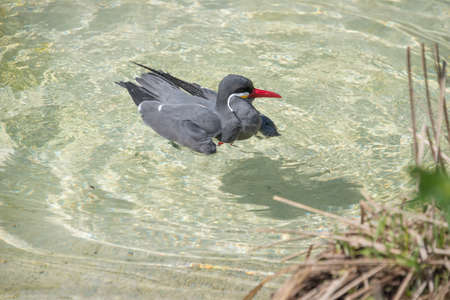 beak: gray bird with a red beak swims in the clear water