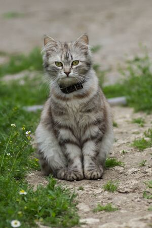 gray tabby: Gray tabby cat with a collar sits on the ground Stock Photo