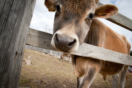 Young calf standing behind a wooden fence photo