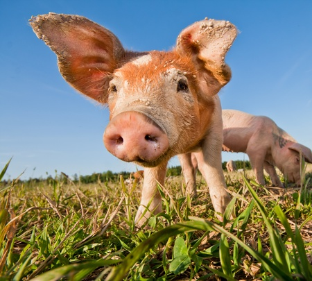 funny food: Cute pig on a pigfarm Stock Photo