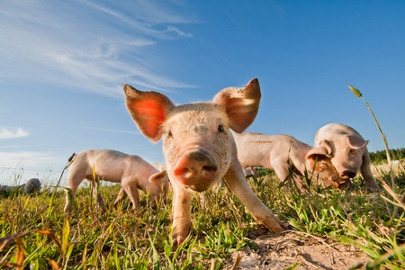 young pig: Pig standing on a pigfarm Stock Photo