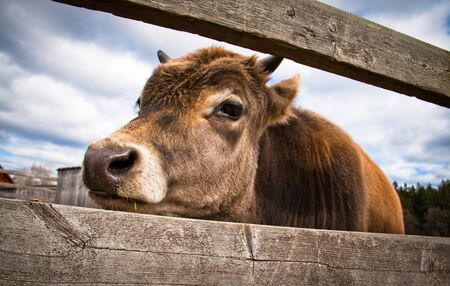 Young calf standing behind a wooden fence Stock Photo - 9951695