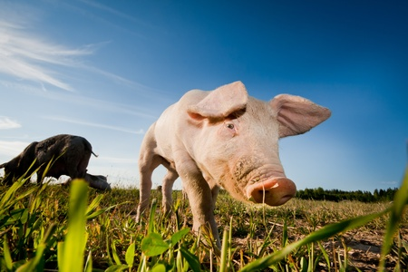 young pig walking on a field photo