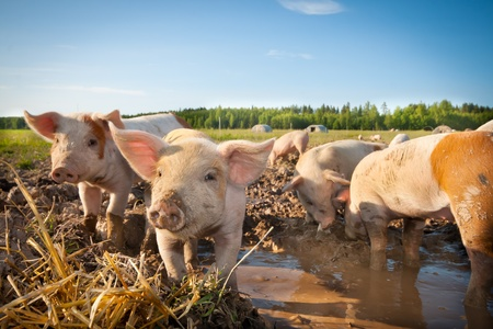 Many cute pigs on a pigfarm Stock Photo