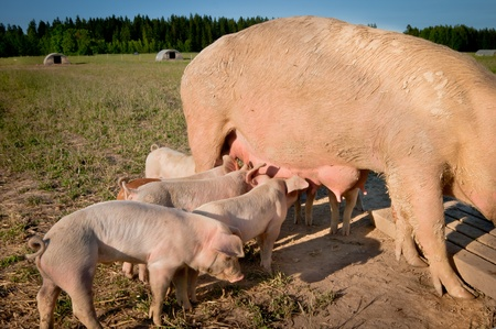 Some cute young pigs feeding on mom photo