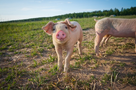 A young pig standing on a field Stock Photo