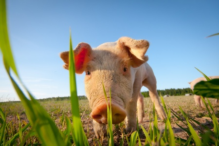 Shy young pig behind a grass straw