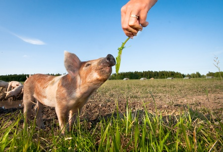 Human hand feeding a young pig photo