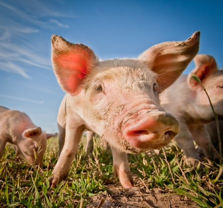 caked: Cute pig on a pigfarm Stock Photo
