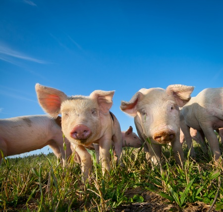 caked: Two small pigs on a pigfarm
