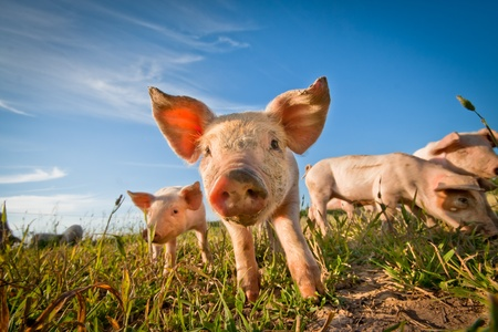One cute pig cuus on the camera Stock Photo - 9951708