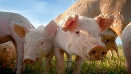 Two small pigs in the shade Stock Photo - 9951705