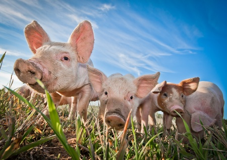 Three small pigs standing on a pigfarm photo