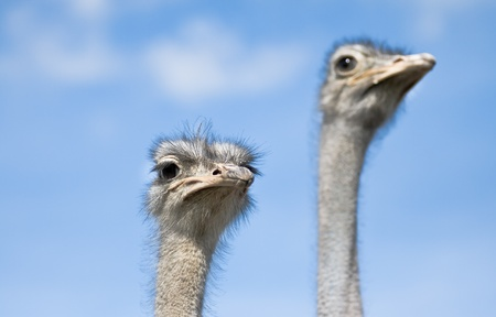 big eyes: Two ostriches watching out