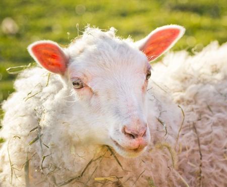 A portrait of a sheep on a farm outside Stockholm, Sweden