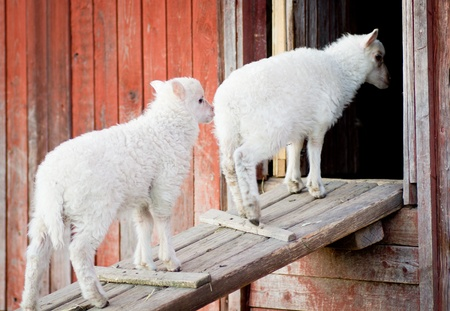 go inside: Two cute lambs standing on a wooden board waiting to go inside Stock Photo