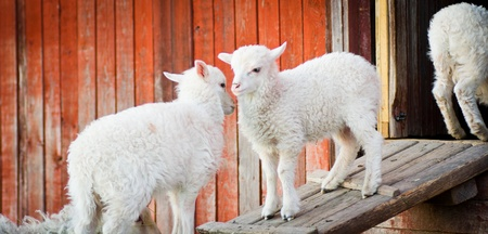 Two lamb standing on a wooden board and playing with each other Stock Photo