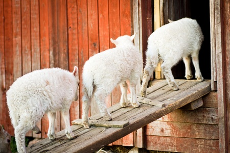 go inside: Three lambs standing on a wooden board waiting to go inside on a farm outside Stockholm, Sweden Stock Photo