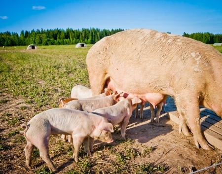 Many piglets feeding on mom outdoors on a pigfarm in Dalarna, Sweden Stock Photo