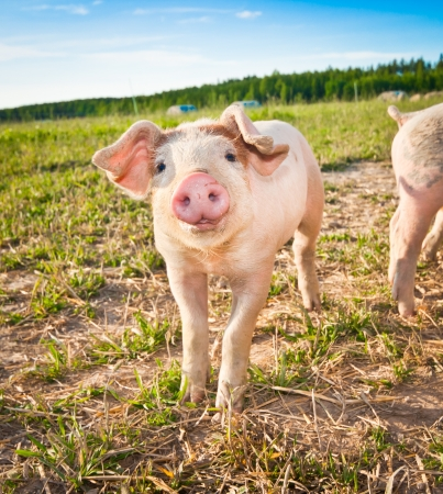 A baby pig on a pigfarm in Dalarna, Sweden Stock Photo
