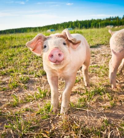 Un maiale bambino su una pigfarm in Dalarna, Svezia