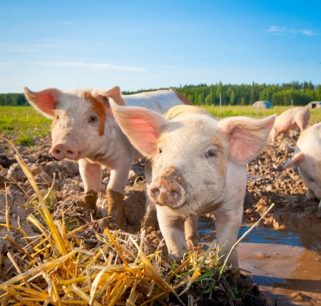 Two piglets standing on a field outside on a pigfarm in Dalarna, Sweden