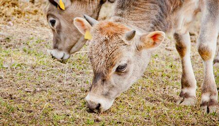A young calf eating grass on a farm, Sweden