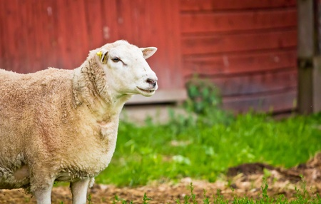 A sheep standing infront of a red barn on a farm in Dalarna, Sweden Stock Photo