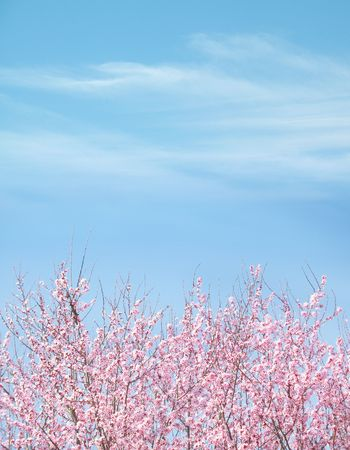 Plum Tree Blue Sky Background; brilliant blue sky with wispy clouds, Beautiful Plum Blossom Tree in foreground; ample copyspace. Stock Photo