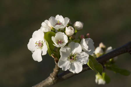 greenish: White flowers at branch over greenish background Stock Photo
