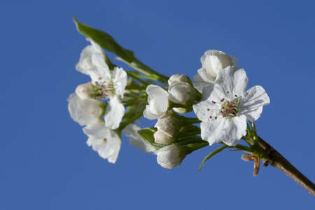 White cherry flowers over clear blue sky photo