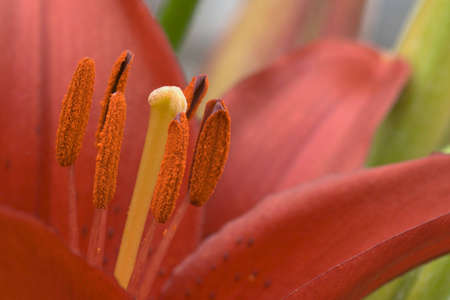 Close-up view of pistil and stamens of red lily (Lilium asiatic hybrid)