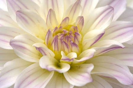 Close up view of white dahlia
