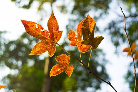 backlight: Red leaves in backlight, Hong Kong, China Stock Photo