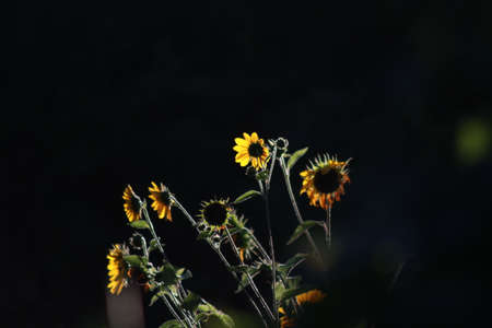 Sunflowers contrasted in darkness Banco de Imagens - 43613381
