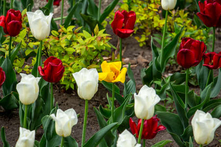 beautiful red, pink, white, yellow tulips in the flowerbed, different flowers, messengers of spring, spring mood Фото со стока