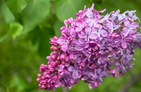 spring, beautiful lilac grove in the garden, flower color - lilac, purple, close-up 免版税图像