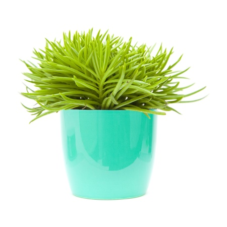 senecio: succulent bush senecio plant; in bright blue ornamental pot; isolated on white,