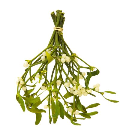 Viscum album (European Mistletoe; Common Mistletoe) tied up bunch with berries; isolated on white background photo