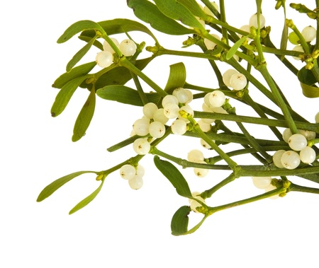 Viscum album (European Mistletoe; Common Mistletoe) bunch with berries; isolated on white background;