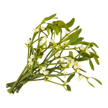 Viscum album (European Mistletoe; Common Mistletoe)  bunch up, with berries; isolated on white background; Stock Photo