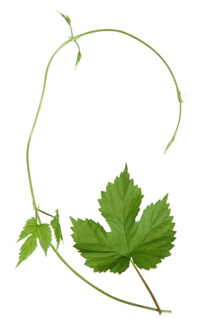 stabilizers: isolated wild hops shoot and leaf Stock Photo