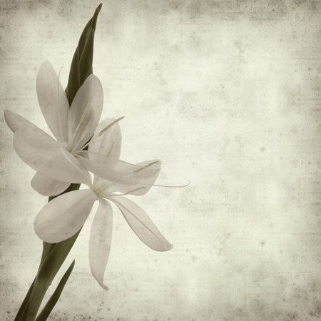 textured old paper background with Schizostylis coccinea, light pink variety Stock Photo